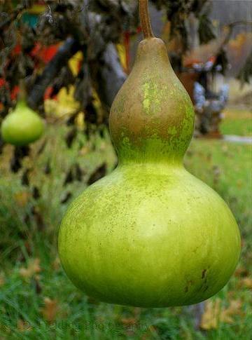 Gourdfruit
